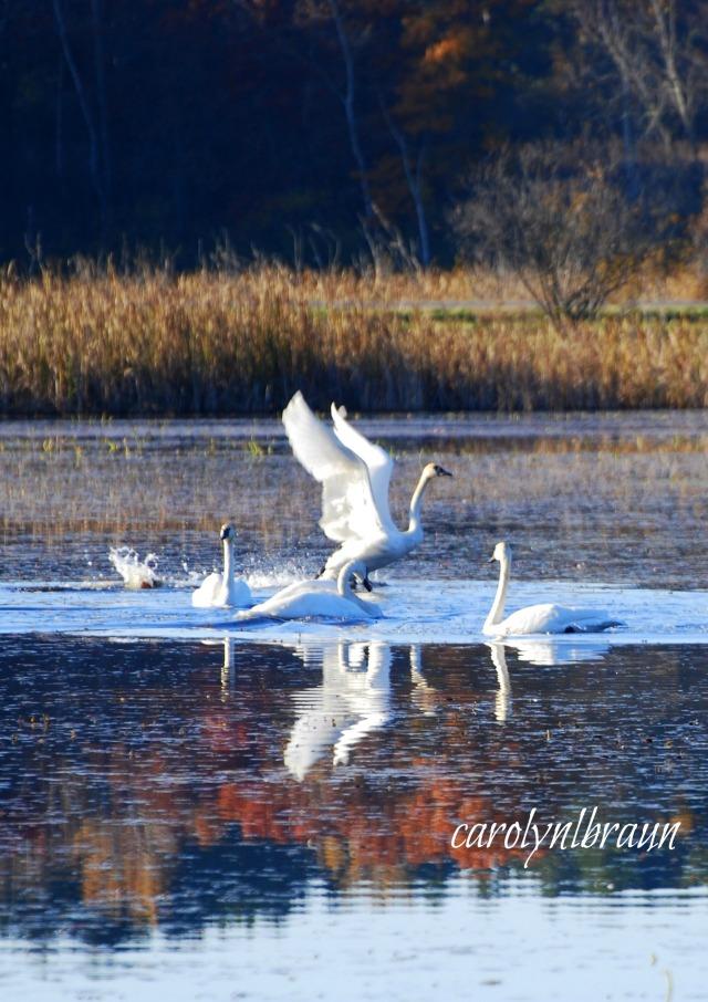 swans 3.jpg