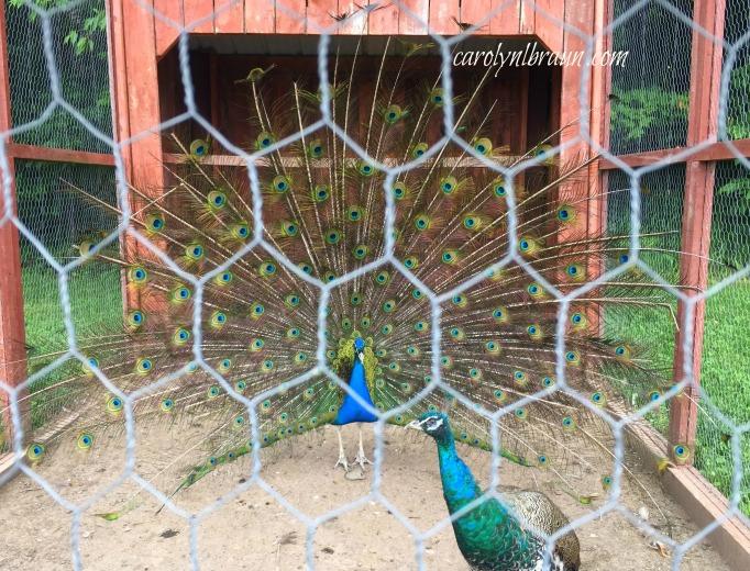 peacock 3.jpg